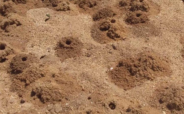 عملية مكافحة نحلة ابي التي ظهرت بشكل كبير  في شاطئ القادوس ببلدية هراوة